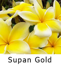 Plumeria Supan Gold, grafted  Click to see full-size image
