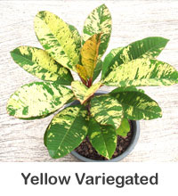 Plumeria Yellow Variegated, grafted  Click to see full-size image