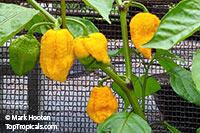Capsicum chinense - Gold Carolina Reaper Pepper  Click to see full-size image