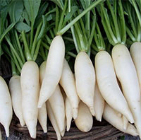 Raphanus sativus, Daikon - seeds  Click to see full-size image