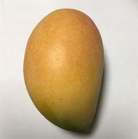 Mangifera indica - Frances Hargrave Mango, Large size, Grafted  Click to see full-size image