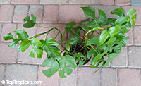 Rhaphidophora tetrasperma, Mini Monstera, Dwarf Monstera, Monstera Ginny  Click to see full-size image