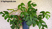 Rhaphidophora tetrasperma - Monstera Ginny, Mini Monstera  Click to see full-size image