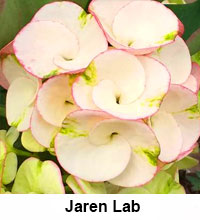 Euphorbia millii - Jaren Lab  Click to see full-size image
