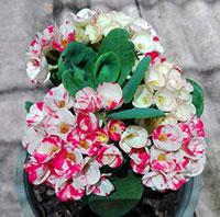 Euphorbia millii - Lai Kanok  Click to see full-size image