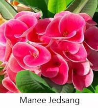 Euphorbia millii - Manee Jedsang  Click to see full-size image