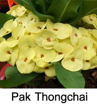 Euphorbia millii - Pak Thong Chai  Click to see full-size image