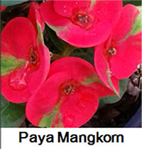 Euphorbia millii - Paya Mankorn  Click to see full-size image