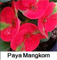 Euphorbia millii - Paya Mankorn  Click to see full-size image