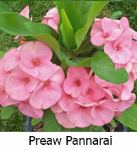 Euphorbia millii - Preaw Pannarai  Click to see full-size image