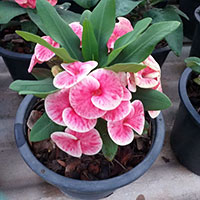 Euphorbia millii - Queen of Luck  Click to see full-size image