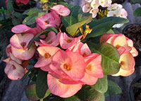 Euphorbia millii - Rab Thong  Click to see full-size image