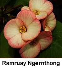 Euphorbia millii - Ramruay Ngernthong  Click to see full-size image