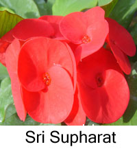 Euphorbia millii - Sri Supharat  Click to see full-size image