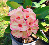 Euphorbia millii - Thai Smile  Click to see full-size image