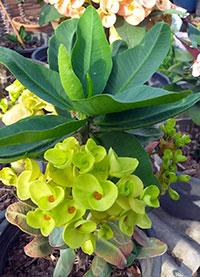 Euphorbia millii - Yok Rungtiwa  Click to see full-size image
