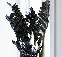 Zamioculcas x Black Dragon - Black ZZ Plant  Click to see full-size image