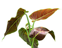 Philodendron subhastatum - Red Jacket  Click to see full-size image