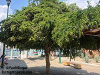 Guaiacum sanctum, Lignum Vitae, Tree of Life, Gaiac tree  Click to see full-size image