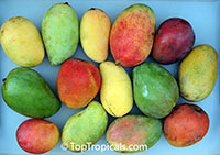 Mango varieties, Grafted  Click to see full-size image