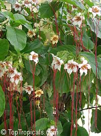 Strophanthus preussii - Poison Arrow Vine, Medusa-Flower  Click to see full-size image