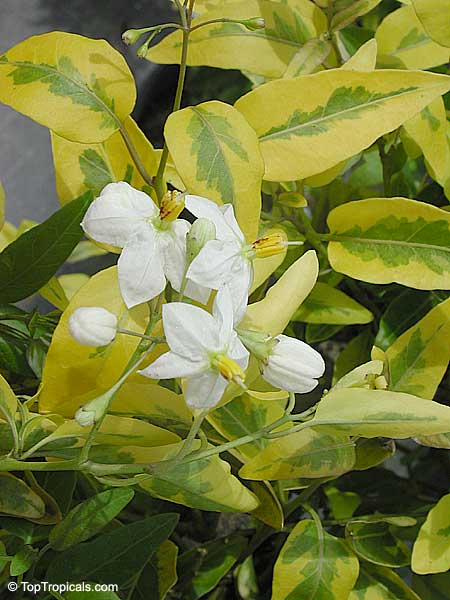 solanum laxum solanum jasminoides white potato vine. Black Bedroom Furniture Sets. Home Design Ideas