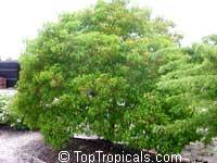 Hamelia cuprea, Bahama FirebushClick to see full-size image
