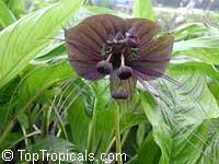 Tacca chantrieri, Bat Head Lily, Bat Flower, Devil Flower, Black TaccaClick to see full-size image