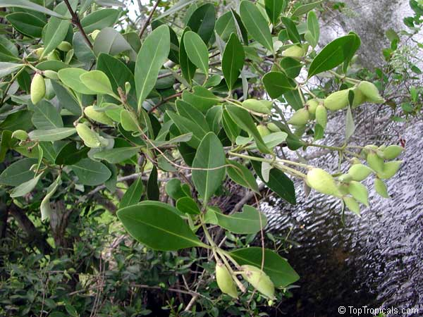 Avicennia germinans, Black MangroveClick to see full-size image