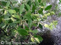 Avicennia germinans, Black Mangrove  Click to see full-size image