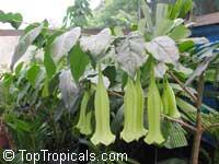 Cubanola domingensis, Portlandia domingensis, Cubanola, Tree Lily, Campanita CriollaClick to see full-size image