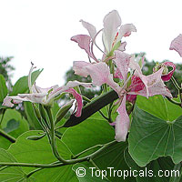 Bauhinia monandra, Orchid tree, Napoleon's plume