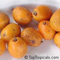 Spondias mombin - Orange Mombin, Hog PlumClick to see full-size image