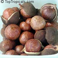 Macadamia integrifolia - Macadamia nut var. Arkin Papershell