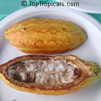 Theobroma cacao, Chocolate Tree, Cacao, Cocoa Tree