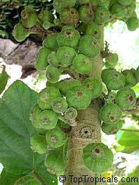 Ficus sycomorus - seeds  Click to see full-size image