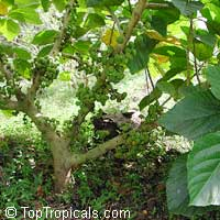 Ficus sycomorus, Common Cluster Fig  Click to see full-size image