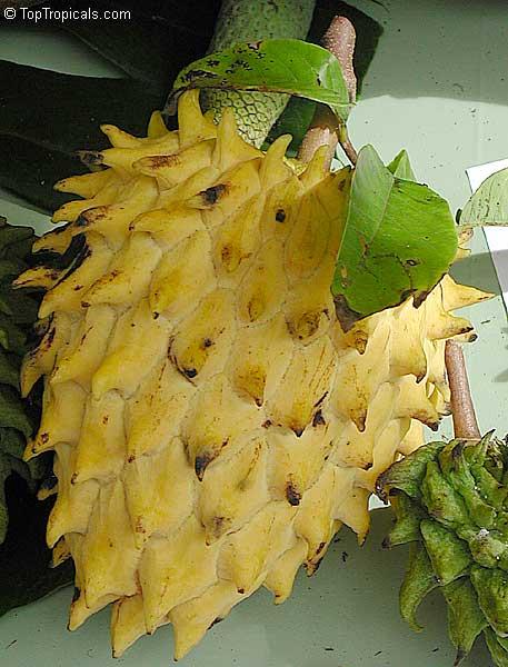 http://toptropicals.com/pics/garden/2004/1/1199.jpg