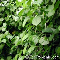 Piper betle, Betel leaf  Click to see full-size image