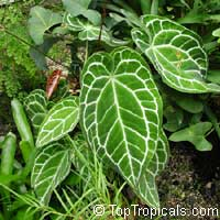Anthurium forgetii x crystallinum  Click to see full-size image