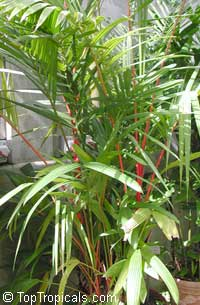 Cyrtostachys renda, Cyrtostachys lakka, Lipstick Palm, Sealing Wax Palm  Click to see full-size image
