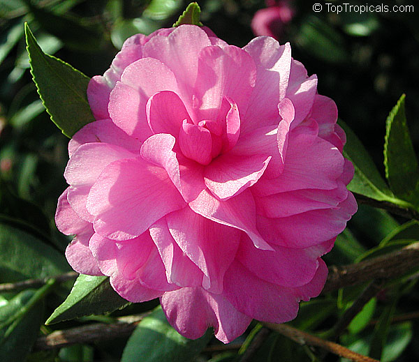 Camellia japonica camellia sasanqua camellia for Camellia sasanqua