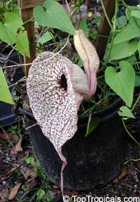 Aristolochia grandiflora, Calico Flower, Pelican Flower