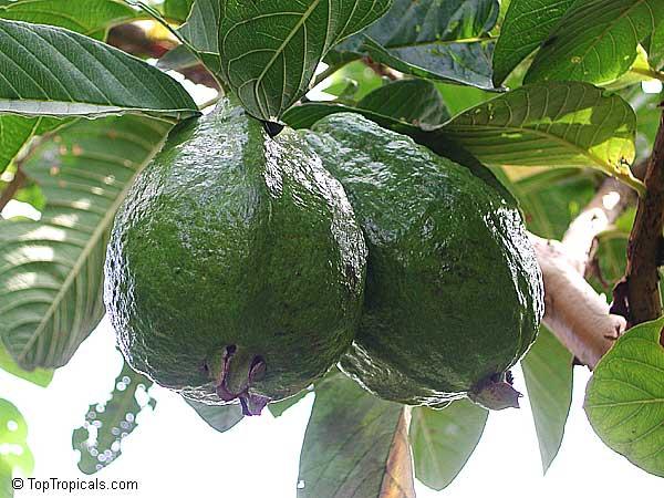 Psidium Guajava Tropical Guava Click To See Full Size Image