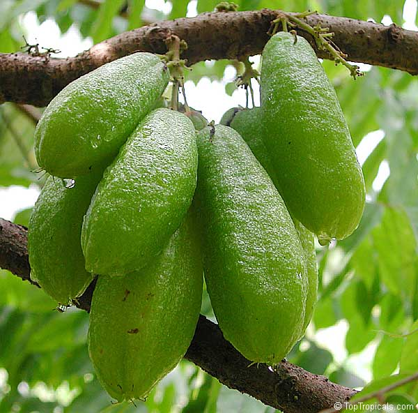 Averrhoa Bilimbi Cucumber Tree Toptropicals Com