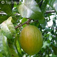 Pouteria campechiana, Canistel, Eggfruit, Chesa  Click to see full-size image