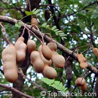 Tamarindus indica - seeds  Click to see full-size image