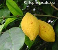 Rheedia longifolia, Charichuela, Bacuri Azedo, Sour Bacuri, Bumpy Lemon, Garcinia  Click to see full-size image