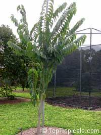 Annona cherimola x Annona squamosa, AtemoyaClick to see full-size image