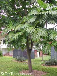 Artocarpus altilis, Artocarpus communis, BreadfruitClick to see full-size image